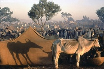 Raghubir Singh: Bullocks for Sale, Pushkar Fair, Rajasthan, 1974